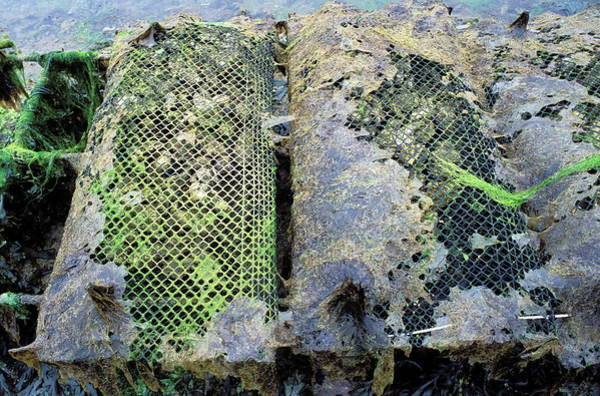Seaweed Photograph - Farmed Oysters by Pascal Goetgheluck/science Photo Library