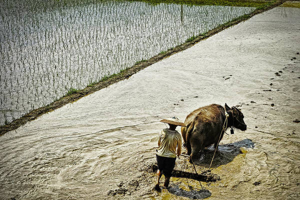 Working Photograph - Farmer And Water Buffalo Working In A by John Wang