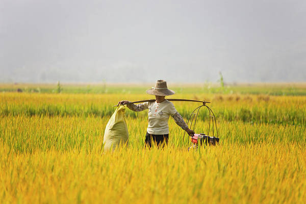 Shoulder Photograph - Farmer Carrying Shoulder Pole In The by Keren Su
