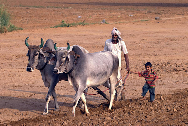 Developing Country Photograph - Farmer Driving Cattle by Simon Fraser/science Photo Library