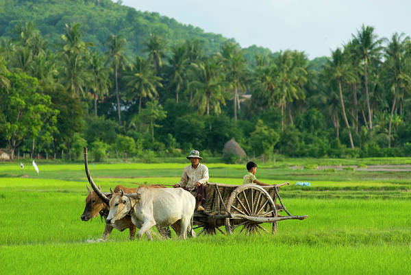 Phnom Penh Wall Art - Photograph - Farmer In Rice Fields North Of Phnom by Austin Bush