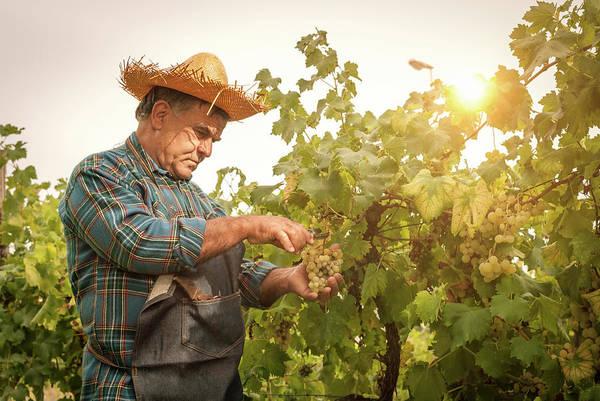 Straw Hat Photograph - Farmer Man Cutting A Grape Bunch With by Filippobacci