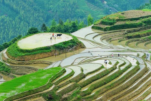 Wall Art - Photograph - Farmer Plowing Water Filled Rice by Keren Su