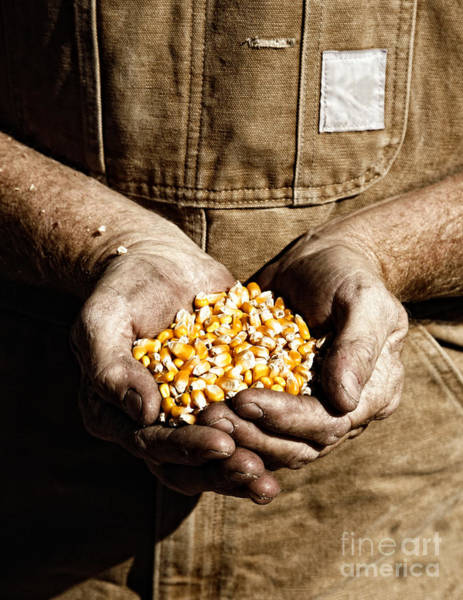 Farmer's Hands With Seed Corn Art Print
