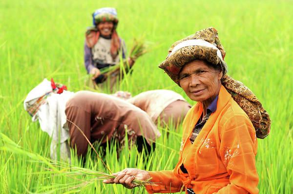 Senior Adult Photograph - Farmers Harvesting Rice by Tom Cockrem