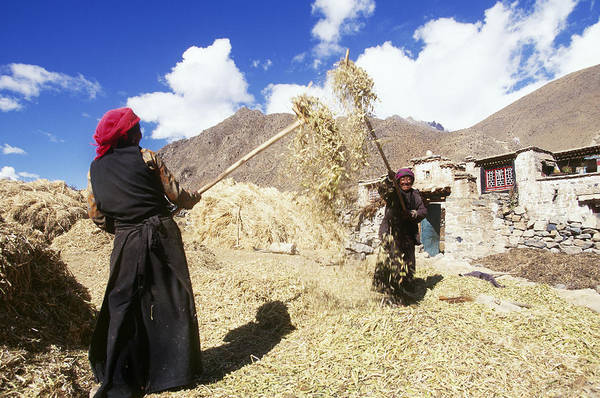 Wall Art - Photograph - Farming In Tibet by Alison Wright