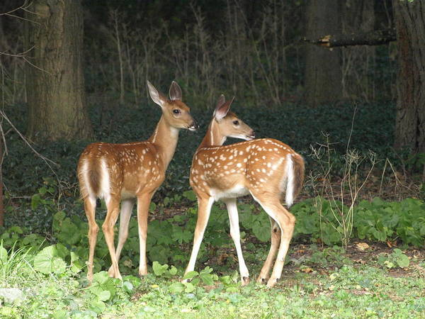 Photograph - Fascinated Fawns by Jeffrey Peterson