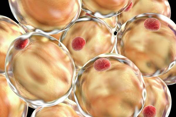 Fatty Tissue Photograph - Fat Cells by Kateryna Kon/science Photo Library
