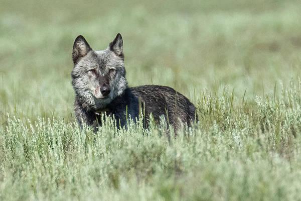 Alpha Wolf Wall Art - Photograph - Father Wolf by Sandy Sisti