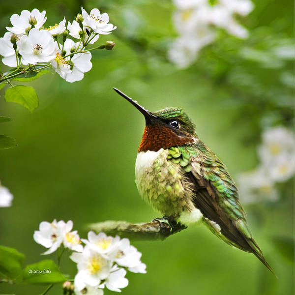 Wall Art - Photograph - Fauna And Flora Hummingbird Square by Christina Rollo