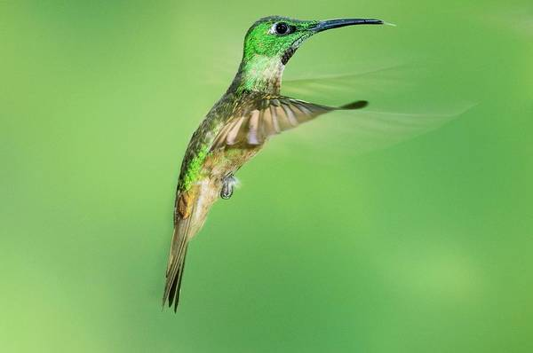 Wall Art - Photograph - Fawn-breasted Brilliant Hummingbird by Tony Camacho/science Photo Library