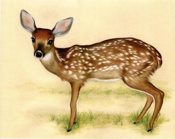 White Tailed Deer Drawing - Fawn by Heather Mitchell