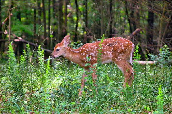 Photograph - Fawn In Sunbeams by Mary Almond