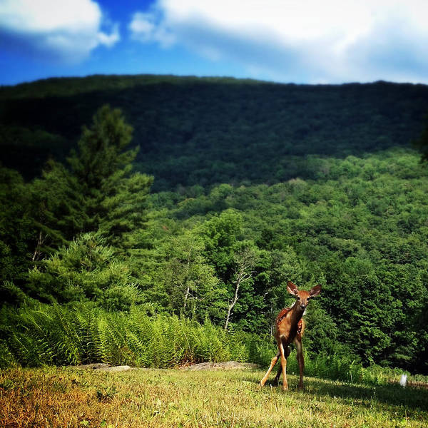 Photograph - Fawn In The Catskills by Natasha Marco