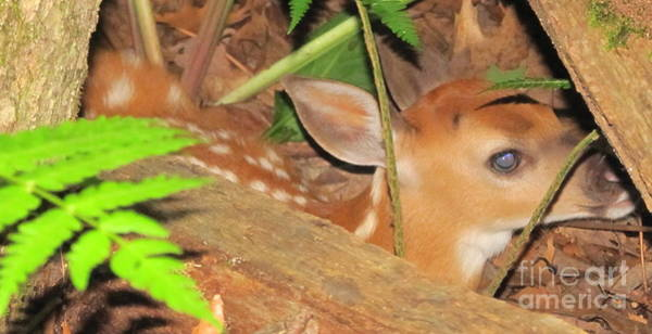 Little Things Photograph - Fawn In The Ferns by Joshua Bales