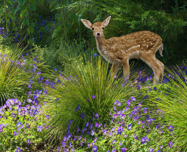 Fawn Photograph - Fawn In The Garden by John Lund