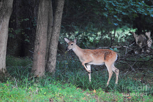 Photograph - Fawn In The Woods by Jai Johnson