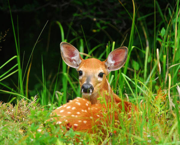 Photograph - Fawn Resting by Andre Denis