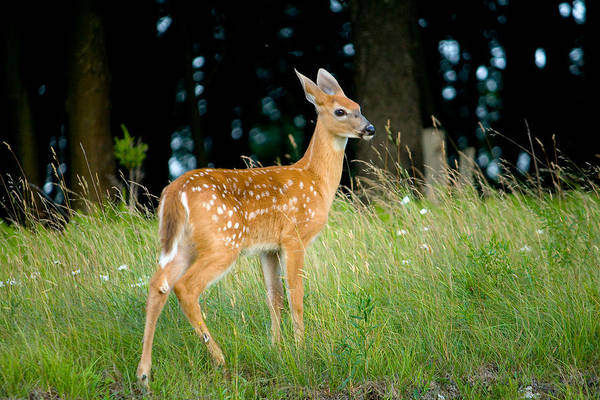 Deer Photograph - Fawn by Shane Holsclaw