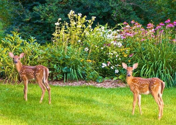 Photograph - Fawns In The Afternoon Sun by Kristin Hatt