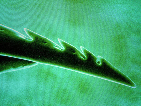 Bee Sting Photograph - F/col Sem Of The Barbed Tip Of A Bee Sting by Power And Syred/science Photo Library