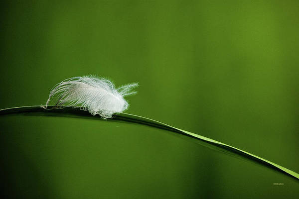 Photograph - Feather In Solitude by Steven Llorca