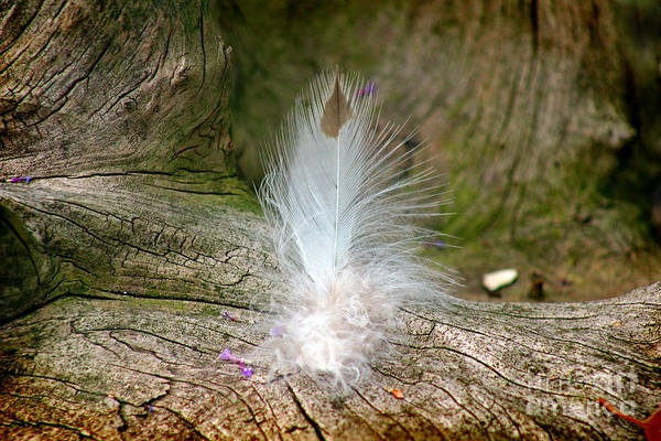 Photograph - Feather by Karen Adams