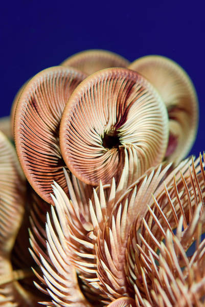Arty Photograph - Feather Star Crinoid, Raja Ampat by Jaynes Gallery