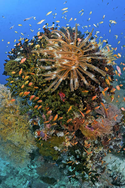 Feather Stars Wall Art - Photograph - Feather Star (crinoidea by Jaynes Gallery
