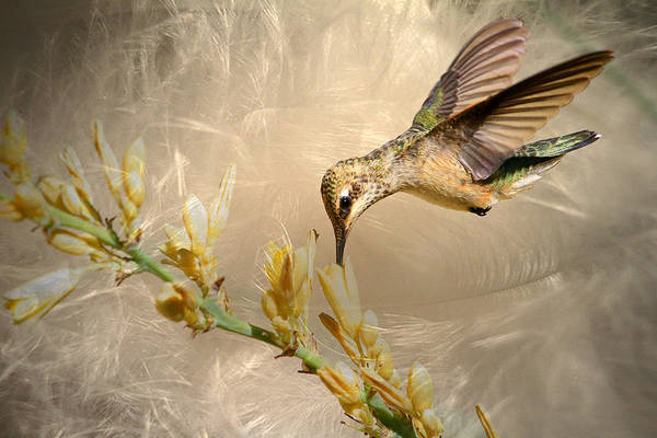 Hummingbird Wings Photograph - Feathers by Donna Kennedy