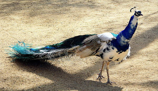 Photograph - Feathers Of Many Colors by AJ  Schibig