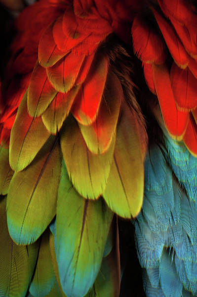 Photograph - Feathers On A Scarlet Macaw by Tim Platt