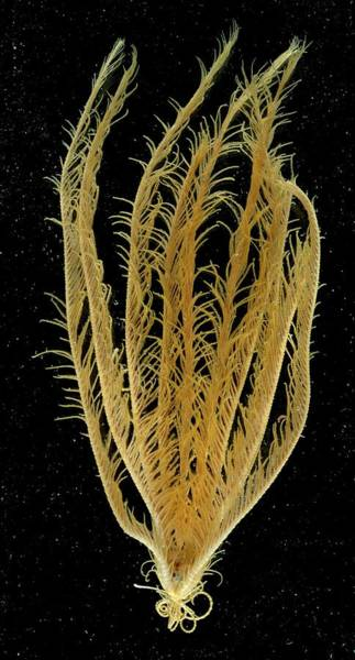 Feather Stars Photograph - Featherstar by British Antarctic Survey/science Photo Library