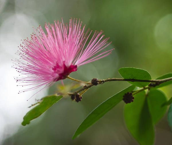 Photograph - Feathery Pink Shaving Brush by Gene Norris
