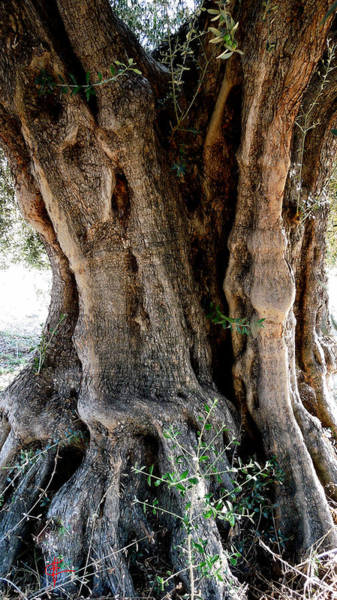 Photograph - Featured Old Ancient Olive Tree Almeria Spain  by Colette V Hera  Guggenheim