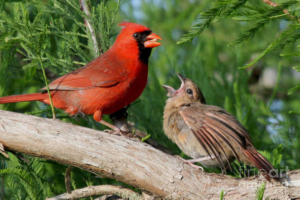 Photograph - Feed Me - Northern Cardinals by Meg Rousher