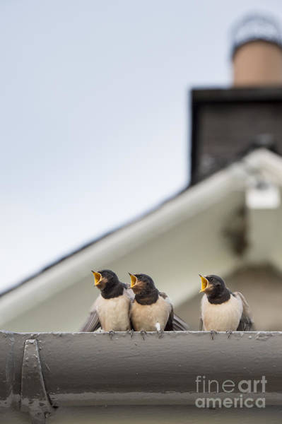 Swallow Photograph - Feed Me  by Tim Gainey