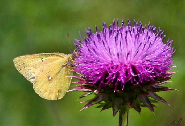 Flutterby Wall Art - Photograph - Feeding On Thistle by Kristin Elmquist