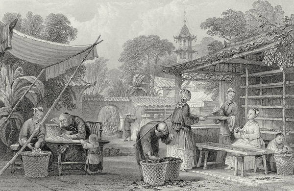 Chinese Drawing - Feeding Silkworms And Sorting Cocoons by Thomas Allom