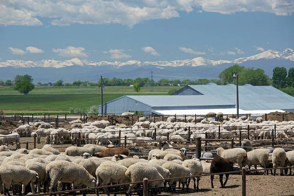Feedlot Photograph - Feedlot Sheep by Jim West