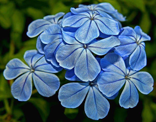 Plumbaginaceae Photograph - Feeling Blue by Judy Vincent