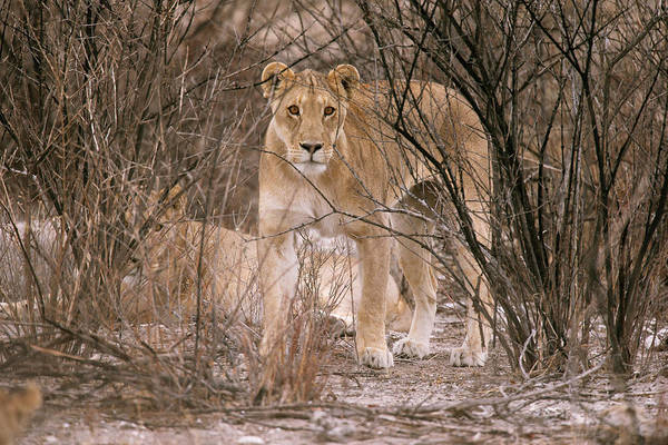 Big Five Photograph - Female African Lion by Simon Booth