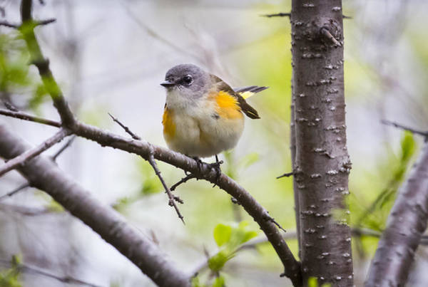 Photograph - Female American Redstart by Ricky L Jones