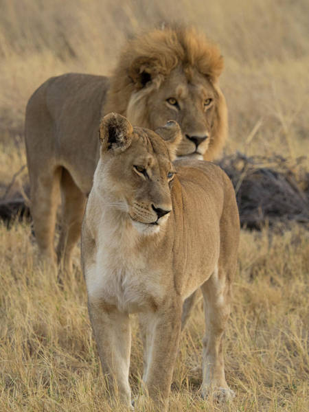 Okavango Delta Photograph - Female And A Male Lions Panthera Leo by Panoramic Images