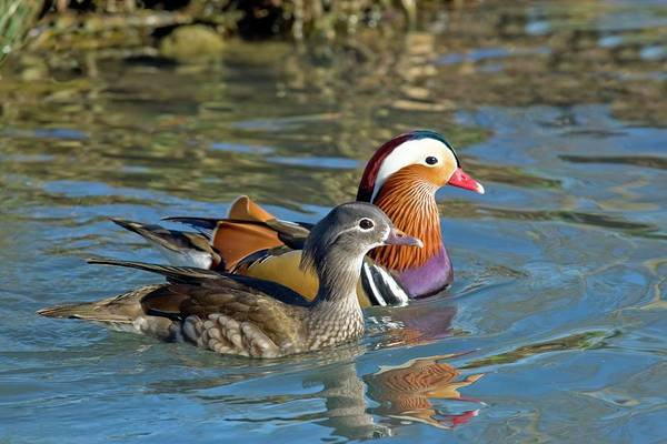Wall Art - Photograph - Female And Male Mandarin Ducks by John Devries/science Photo Library