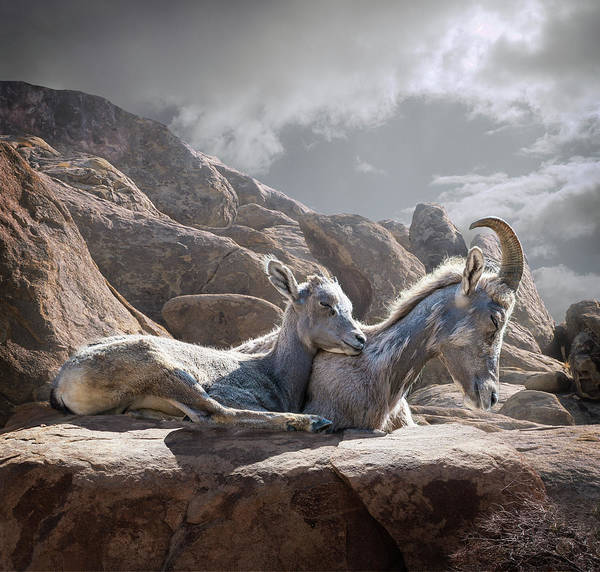 Photograph - Female And Young Bighorn Sheep by Ed Freeman