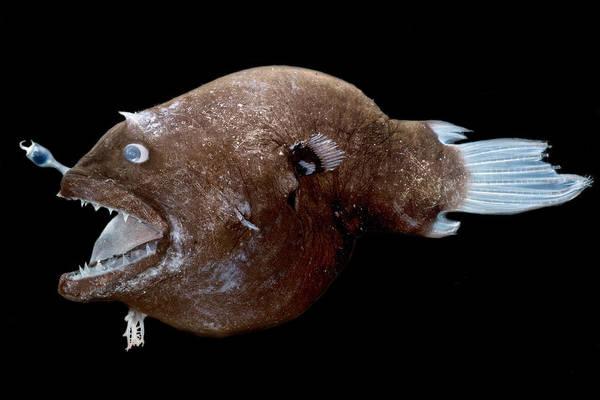 Photograph - Female Anglerfish Linophryne Sp by Dante Fenolio