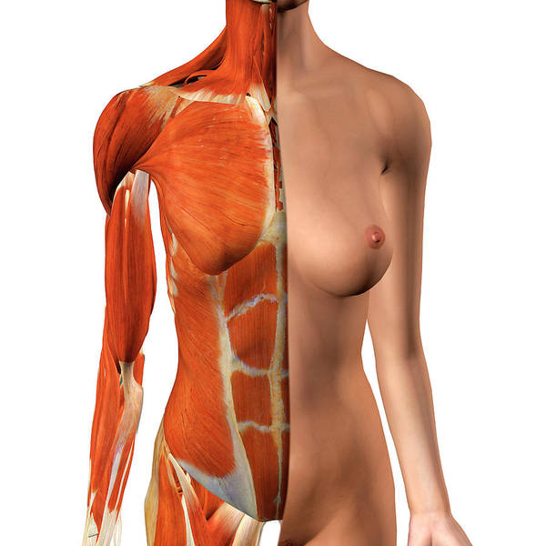 External Abdominal Oblique Photograph - Female Anterior Thoracic Wall Chest by Hank Grebe