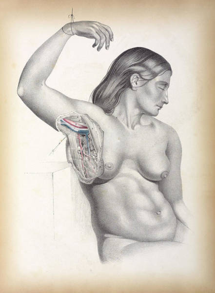 1851 Photograph - Female Armpit Anatomy by The Getty/science Photo Library