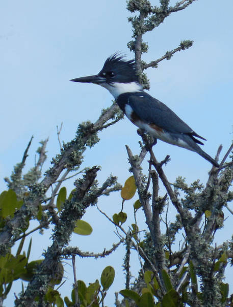 Photograph - Female Belted Kingfisher by Grace Dillon